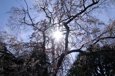 鎌倉光則寺 しだれ桜
